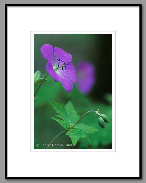 Wild Geranium Flower, Smoky Mountain NP