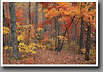 Appalachian Cove Forest, Fall Colors, Smoky Mountain NP