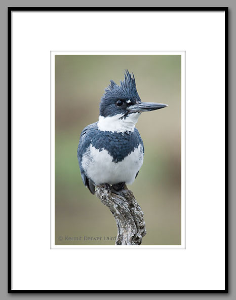 Belted Kingfisher, Noxubee NWR, MS