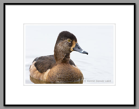 Ring-necked Duck, Oktibbeha County, MS