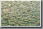 Lily Pads & Raindrops, Noxubee NWR, MS